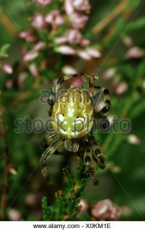 fourspotted orbweaver (Araneus quadratus), sitting on a twig, Germany - Stock Photo