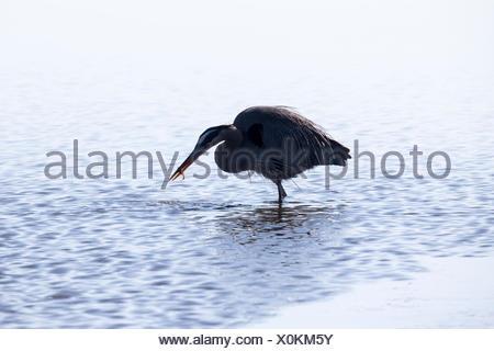 A great blue heron, Ardea herodias, snacks on a small fish. - Stock Photo