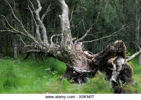 Uprooted tree, County Wicklow, Ireland - Stock Photo