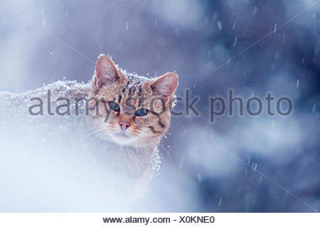 Wild cat (Felis silvestris) in snowstorm captive, Germany - Stock Photo