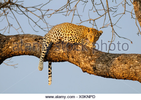 Leopard Panthera pardus Ulusaba Sir Richard Branson's Private Game Reserve Sabi Sands Game Reserve Mpumalanga South Africa cat - Stock Photo