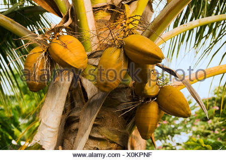 Agriculture - Mature coconuts (Cocos nucifera) on a coconut palm tree / Kona, Hawaii, USA. - Stock Photo