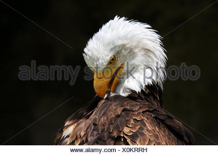 Weißkopfseeadler Bald Eagle - Stock Photo