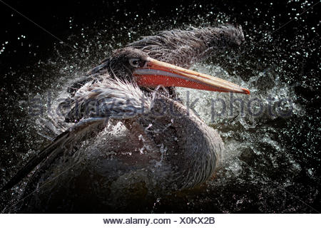 Pelican bird flapping its wings and splashing about in water - Stock Photo