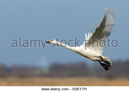 Bewick's Swan, Tundra Swan (Cygnus bewickii, Cygnus columbianus bewickii). Adult in flight. Germany - Stock Photo