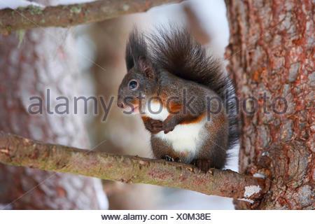 European red squirrel, Eurasian red squirrel (Sciurus vulgaris), sits on a branch, Switzerland - Stock Photo