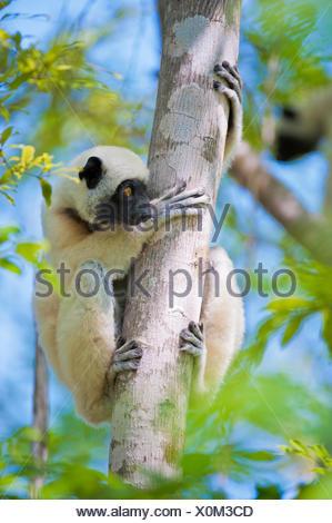Verreaux's sifaka (Propithecus verreauxi) in Kirindy forest, Morondava, Madagascar. - Stock Photo