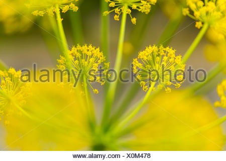 Fennel (Foeniculum vulgare) close up of flowers, Campanarios de Azaba Biological Reserve, a rewilding Europe Area, Salamanca, Castilla y Leon, Spain - Stock Photo