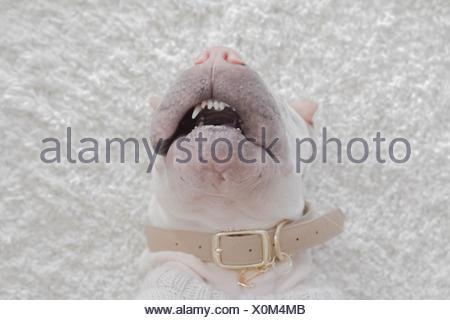 overhead view of Shar Pei dog lying on carpet sleeping - Stock Photo
