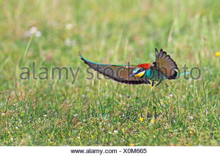 European bee eater (Merops apiaster), flying, landing on grass, Greece, Evrosdelta - Stock Photo