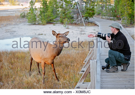 Wildlife photographer taking a photo of a Wapiti Deer (Cervus canadensis), Yellowstone Nationalpark, Wyoming, United States - Stock Photo