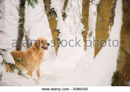 A golden retriever dog in a snowy woodland. - Stock Photo