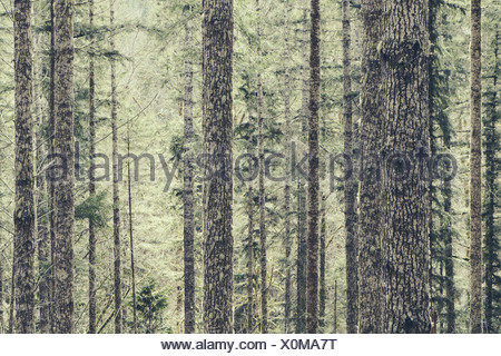 A dense forest of green moss covered trees of old growth cedar fir and hemlock in a national forest in Washington USA - Stock Photo