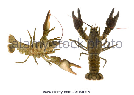 White-clawed Crayfish - Austropotamobius pallipes - Stock Photo