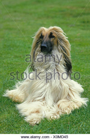 Afghan Hound, Adult Dog laying on Lawn - Stock Photo