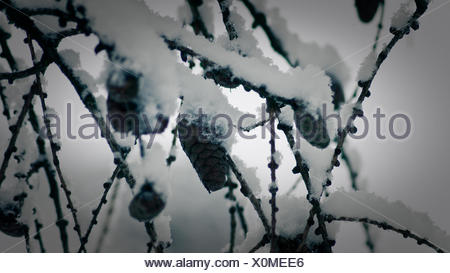 Close-Up Of Snow Covered Pine Cones And Branches - Stock Photo