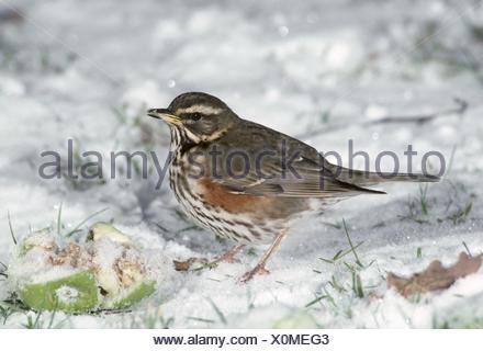 Redwing - Turdus iliacus Stock Photo