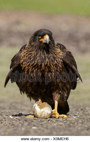 Striated Caracara (Phalcoboenus australis) scavenges for food near a penguin colony in the Falkland Islands. - Stock Photo