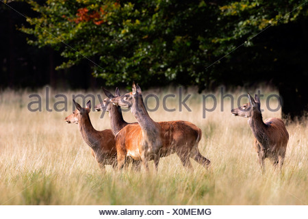 Watchful female red deers during the rut - hinds (Cervus elaphus) - Stock Photo