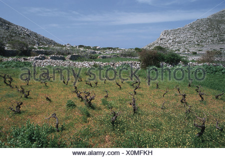 vineyard on the island Karpathos, Greece, Krpathos - Stock Photo