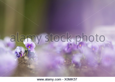 Garden Pansy (Viola wittrockiana), Kassel, Kassel, Hesse, Germany - Stock Photo