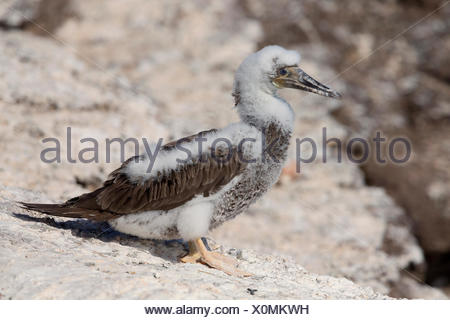 Brown Booby (Sula leucogaster), chick perched on rocks, Razo, Cape Verde - Stock Photo