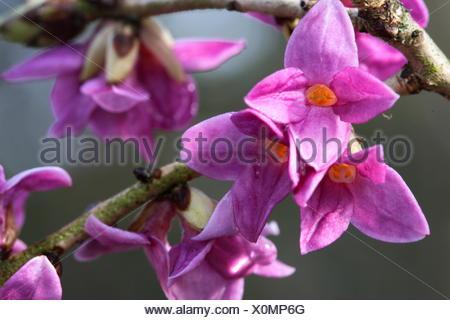 Mezereon - Daphne mezereum - Stock Photo