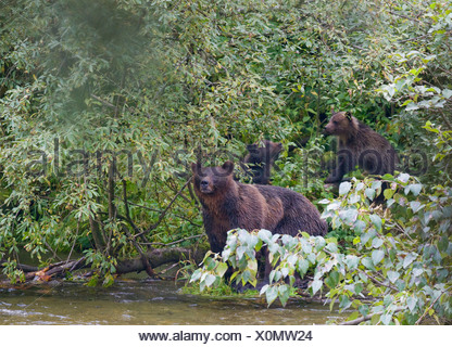 Grizzly Bear (Ursus arctos horribilis) Adult Female and Offspring. - Stock Photo