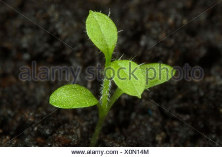 Seedling chickweed, Stellaria media, with cotyledons and first true leaves of annual weed - Stock Photo