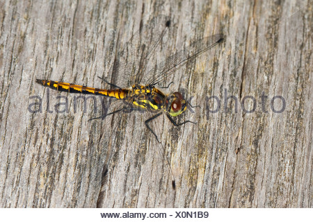 black sympetrum (Sympetrum danae), young male, sitting on wood, Germany - Stock Photo