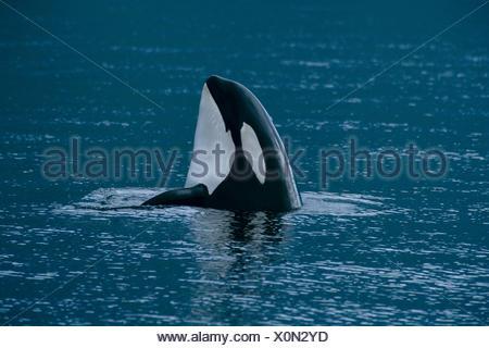 Alaska, Stephens Passage, Killer Whale (Orca Orcinus) Spy Hop B1998 - Stock Photo