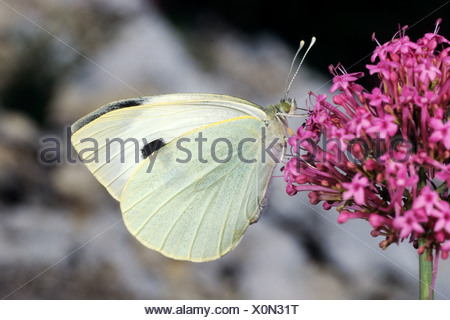 Large White butterfly (Pieris brassicae) on blossom in springtime - Mont Ventoux/France - Stock Photo