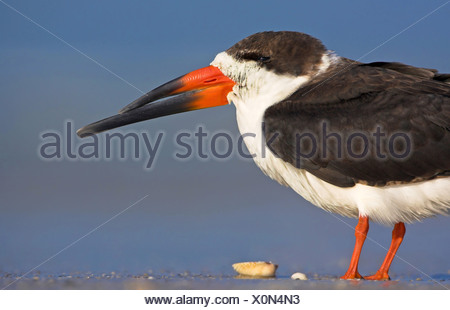 black skimmer (Rynchops niger), standing in mud flat, USA, Florida, Everglades National Park - Stock Photo