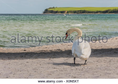 Mute Swan (Cygnus olor) on the beach, Baltic Sea, Bad Boltenhagen, Mecklenburg-Western Pomerania, Germany - Stock Photo