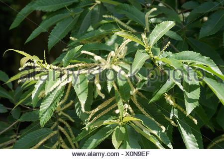 Castanea sativa, Sweet chestnut - Stock Photo