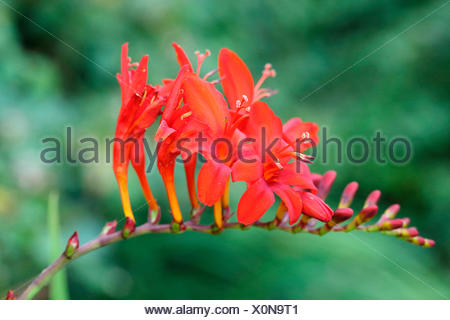 Crocosmia, Montbretia 'Lucifer', Crocosmia 'Lucifer',  Arching flower head of red coloured flower against a muted green background. - Stock Photo