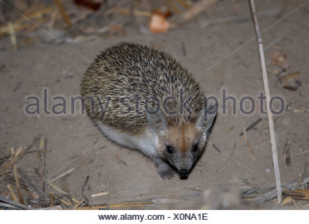 Long-eared Hedgehog Hemiechinus auritus adult - Stock Photo