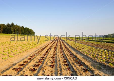 Young, fresh salad seedlings in a field, Landkreis Konstanz county, Baden-Wuerttemberg, Germany, Europe - Stock Photo