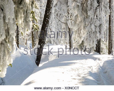 Germany, Lower Saxony, Harz, snowy landscape, on the Clausthaler Flutgraben, cross-country skiing in the Harz over the Wolfswarte to Hanskühnenburg