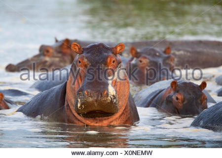 hippopotamus, hippo, Common hippopotamus (Hippopotamus amphibius), herd in a river, South Africa - Stock Photo