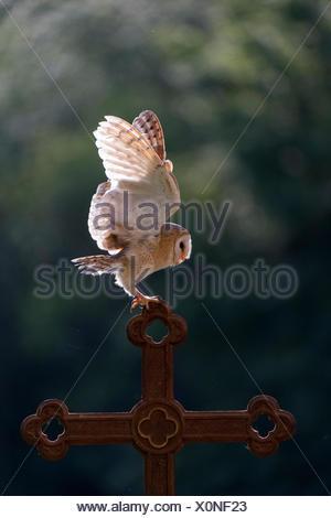 Barn owl (Tyto alba), captive, landing on a cross, Vulkaneifel, Germany