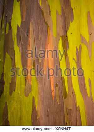 Detail of colorful bark of Rainbow Eucalyptus tree - Stock Photo