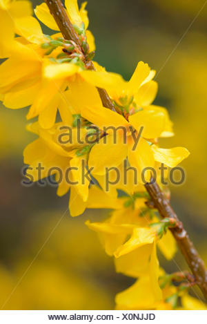 Forsythia, variety Weekend / (Forsythia x intermedia) - Stock Photo