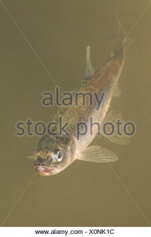Vertikale foto van een anadrome spiering zwemmend in geelgrijs water; vertical photo of an anadromous European Smelt swimming in yellow grey water; - Stock Photo