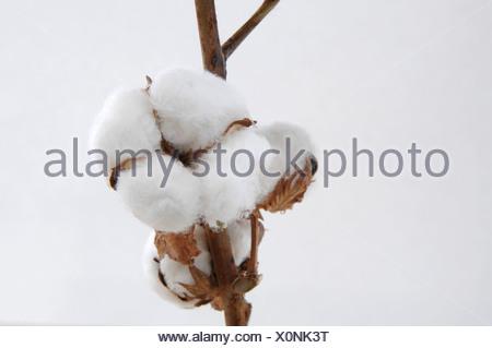 Cotton boll stem (Gossypium) close-up - Stock Photo