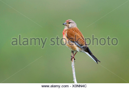 Linnet (Carduelis cannabina) - Stock Photo