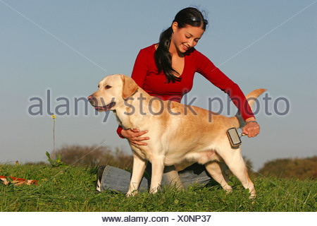 Labrador Retriever dog - being brushed - Stock Photo