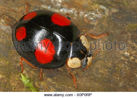 multicoloured Asian beetle (Harmonia axyridis), sits on a stone, Austria - Stock Photo
