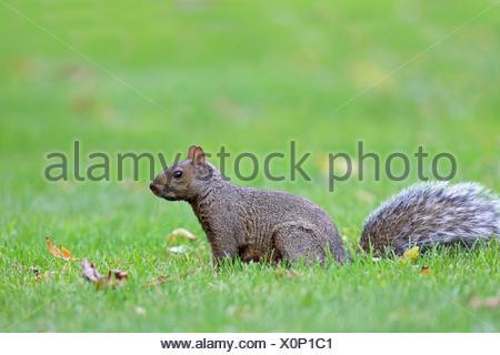 Eastern gray squirrel, Grey squirrel (Sciurus carolinensis), sits on grass, Canada, Ontario, Leamington - Stock Photo