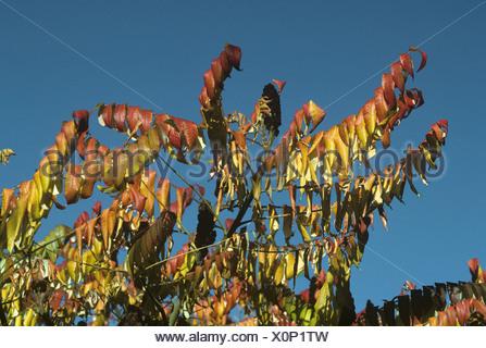 Stag's-horn Sumach Rhus typhina (Anacardiaceae) - Stock Photo